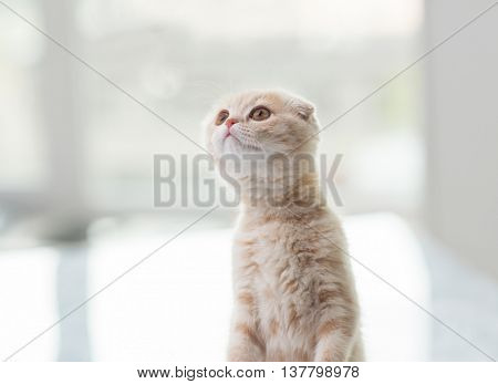 pets, animals and cats concept - close up of scottish fold kitten