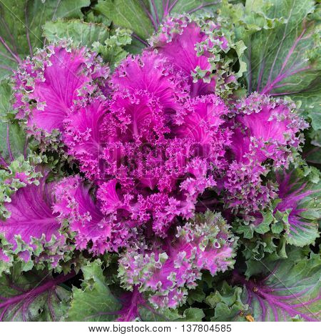 detail of purple winter cabbage leaves and rosette