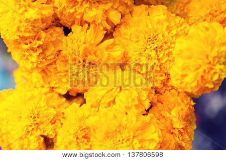 gardening, botany and flora concept - beautiful chrysanthemums flowers