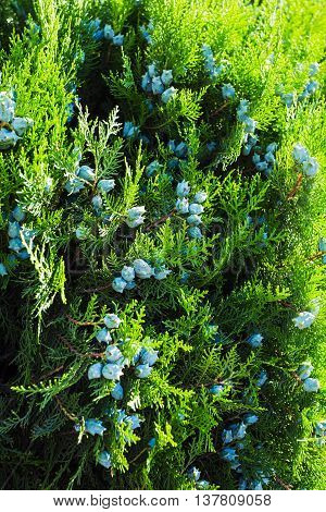 Thuja Branch With Tiny Cones