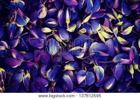 Garden lupine petals