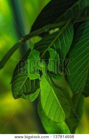 Close-up of Pulchifolium leaf on green leaf