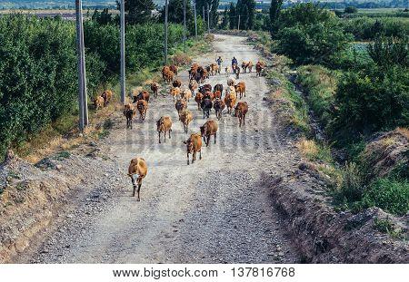 Georgia - July 25 2015. The shepherds leads a herd of cows in Georgia