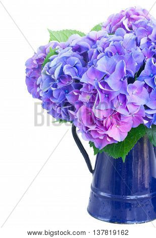 blue and violet hortensia flowers in blue pot close up isolated on white background