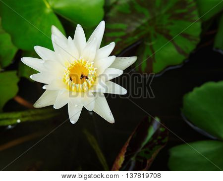 white water lilly flower with green leaf in garden