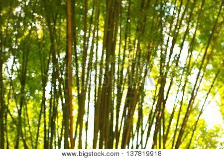 blur green bamboo tree forest with light background