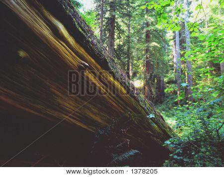 Fallen Tree-Red Wood