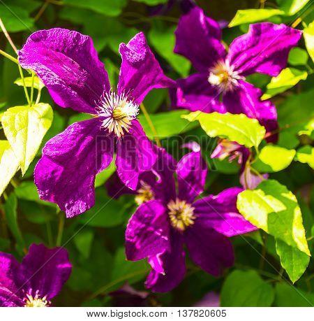 Blooming purple clematis flowers. Selective focus image