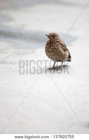 Young common blackbird