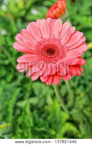 Fresh Red  Daisy Flower in Cameron Highlands