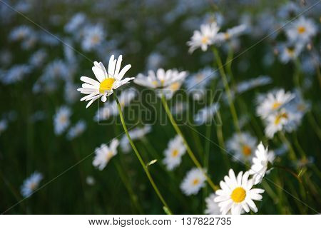 Sunlit group of daisies in a field