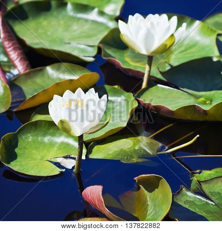White lotus blossoms or water lily flowers blooming on pond