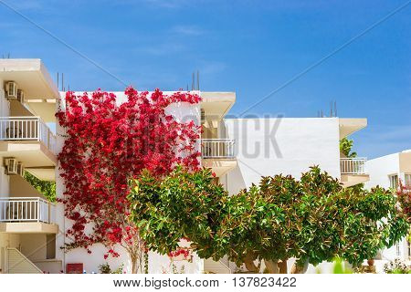 White wall covered with curly branches with bright Bougainvillea flowers. In the foreground a giant green ficus. Resort village Bali Rethymno Crete Greece