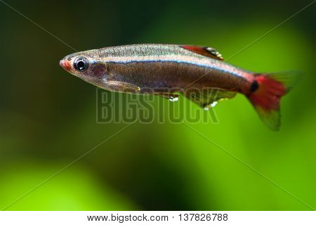 Aquarium fish close-up. White Cloud Mountain minnow fish against soft green plants background. Detailed fish pattern. macro nature concept.
