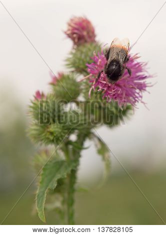 bumblebee finding nectar on a thistle plant