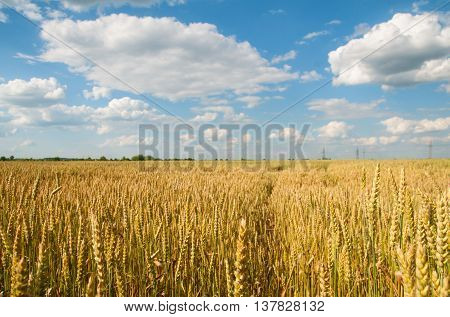 field of golden wheat and cloudy sky