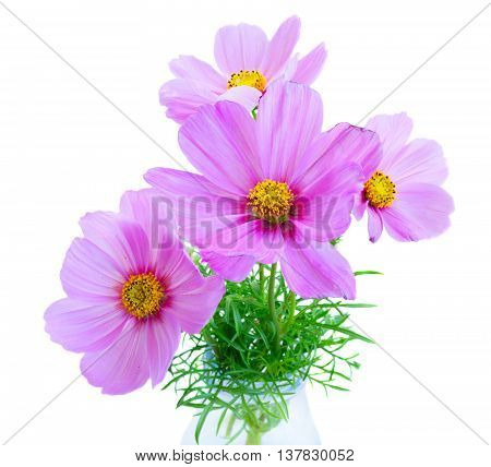 Posy of Cosmos light pink flowers isolated on white background