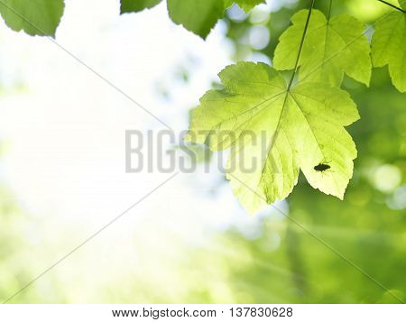 Mountain maple tree with silhouette of a fly, sitting on a fresh green leaf. Maple leaves in the sunlight. Sunbeam and selective focus of the foreground of a mixed forest. Nature background with copy space.