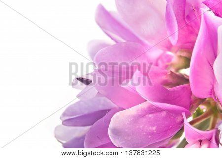 Vetch wild plants closeup on white background