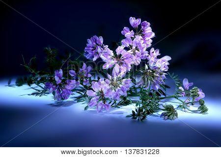 Vetch wild plants closeup on white background. Light brush