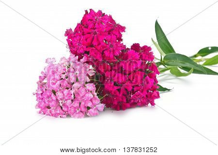 Garden flower Sweet William by close-up on a white background
