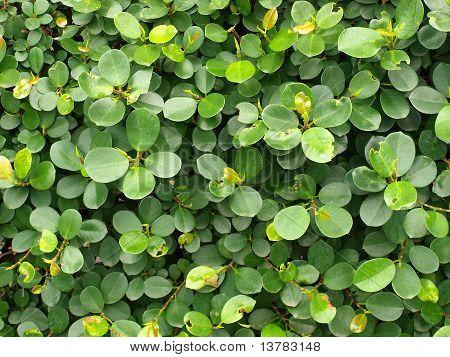 circular leaves