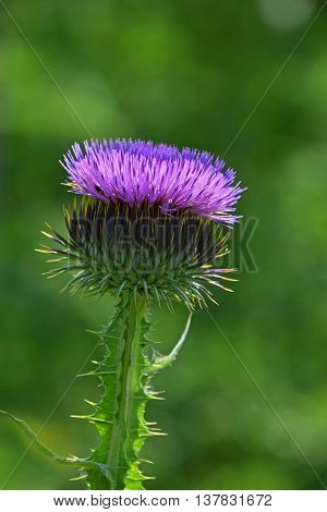 One Purple Thistle Flower Head Over Green