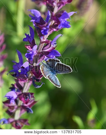 One blue moth butterfly on purple sage salvia flower over green summer meadow background close up