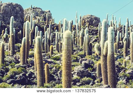 Cactuses on the Bolivian Altiplano