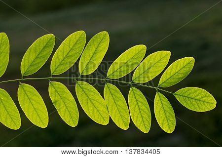 Acacia branch on which a lot of green leaf