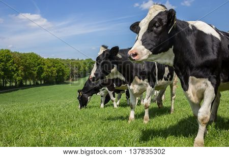 Dutch Holstein Zwartbont cows on a green grass meadow hill