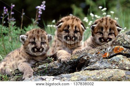 3 small cub sitting near a fallen tree in the meadow