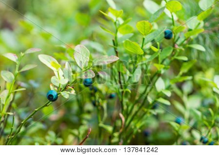 Bush from mature berry of bilberry in the summer wood