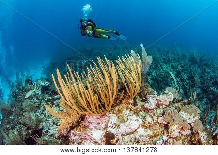 Scuba diving at Ambergris Caye in San Pedro, Belize