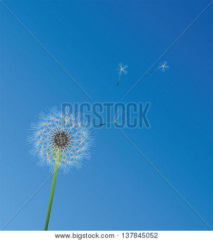 vector illustration of a background with dandelion flower