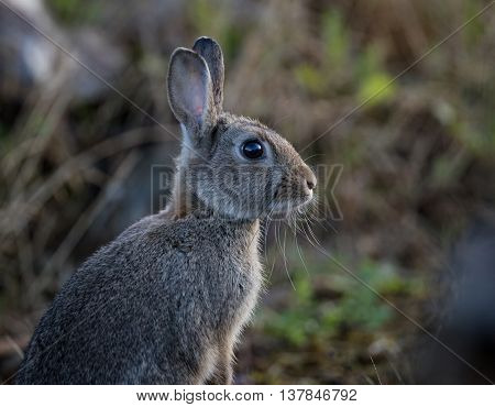 Young wild common rabbit (Oryctolagus cuniculus) sitting and alert in a meadow on a frosty morning with dew