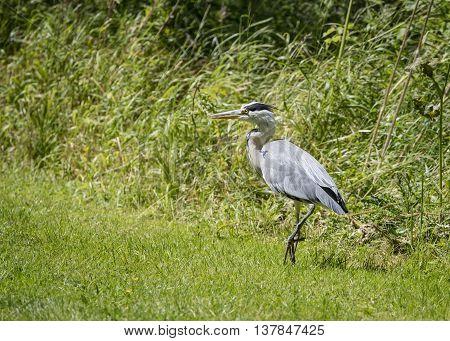 Grey Heron walking on bank (Ardea cinerea)
