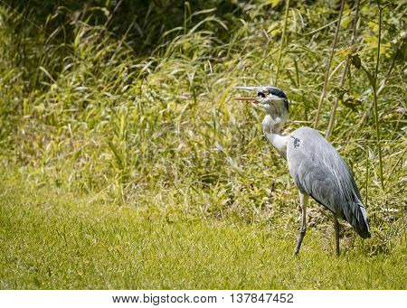 4 Grey Heron set Catching and eating mouse or vole (Ardea cinerea)