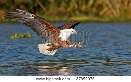 fish eagle flying low over the water of Lake Naivasha and claws stretched out with claws for a moment before the attack on the fish, Kenya