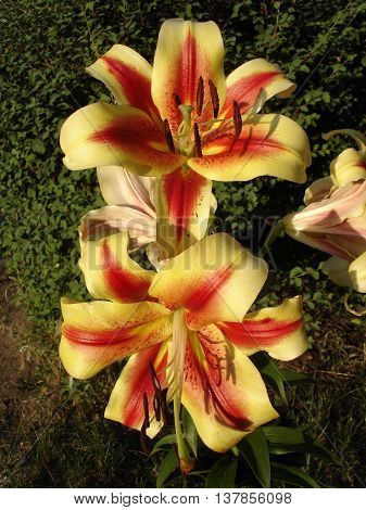 Orienpet hybrids lily 'Montego Bay' yellow-pink with red-wine smear flowers.