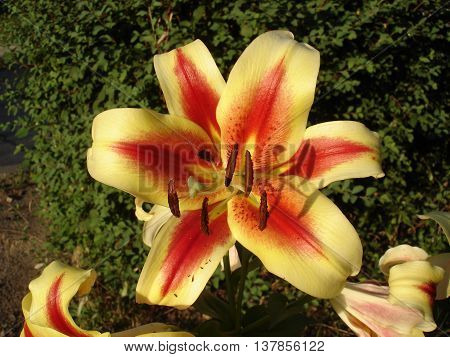 Orienpet hybrids lily 'Montego Bay' yellow-pink with red-wine smear flower.
