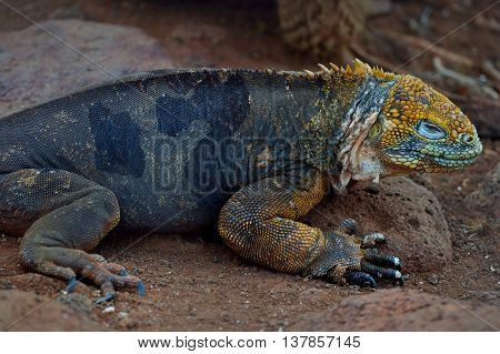 Conolophus subcristatus is land iguana on the ground