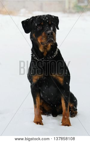 Rottweiler sitting in the snow of winter