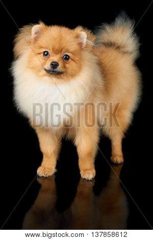 Beautiful Pomeranian dog stands on isolated black background