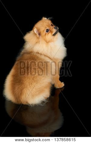 Beautiful Pomeranian dog sits and looks up isolated on black background
