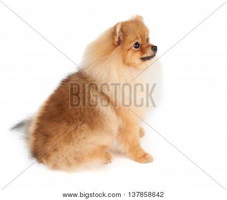 Beautiful Pomeranian dog sits on isolated white background