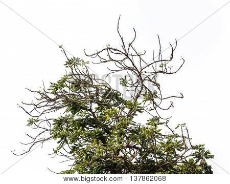 Thorn tree with branches. Isolated on white background with copy space