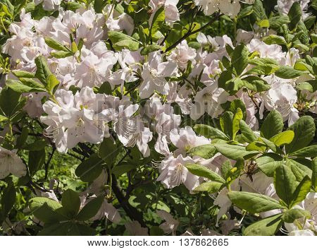 beautiful pink Rhododendron tree blossoms. Summer garden