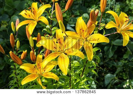Alstroemeria Sweet Laura, yellow flowers in the garden