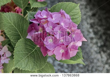 Multiple pink hydrangea plant or hortensia flower with leaves in the garden, Sofia, Bulgaria